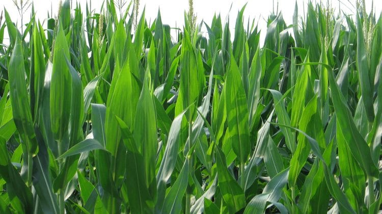A field of corn depicting what biomass is.