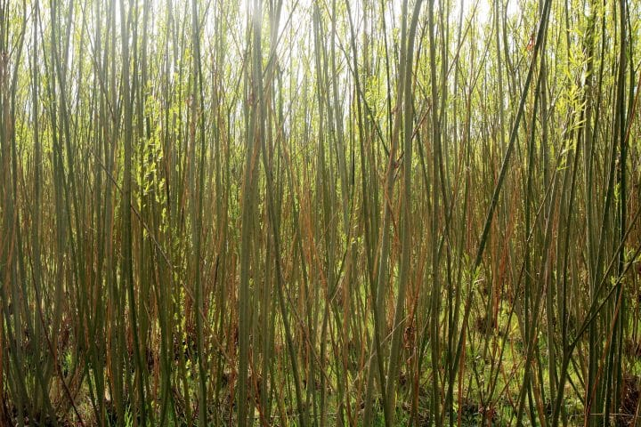 Willow trees grown for biomass energy production.